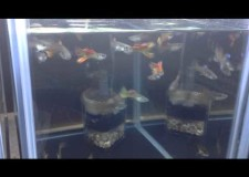 Red Lace Guppies bred by Ardy