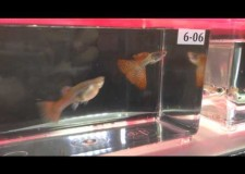 Guppy Challenge 2014 (Singapore) Grand Champion – Metal Red Lace