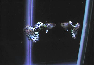 Beautiful White Dragon Guppies