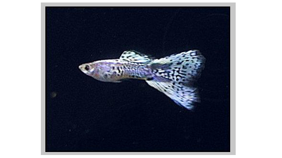 Blue Galaxy Guppies