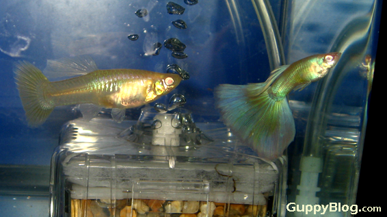 A pair of Albino Guppies