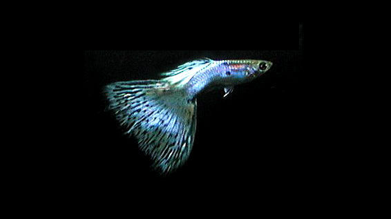 Japan Blue Guppies