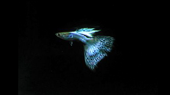 Japan Blue Guppies looking bright.