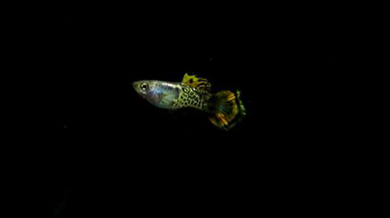 Metal Yellow Ocelot Guppies