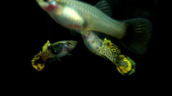 Male Ocelot guppies chasing a female Ocelot guppy.