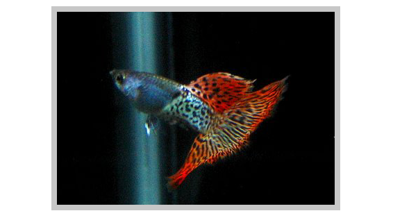 Red Metal Lace Male guppy