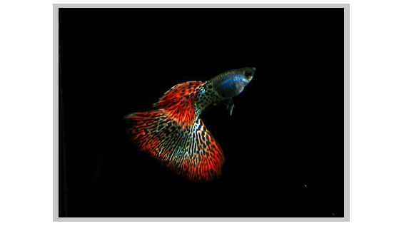Red Metal lace guppy posing