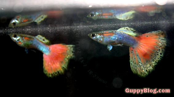 Pretty Pink Guppies