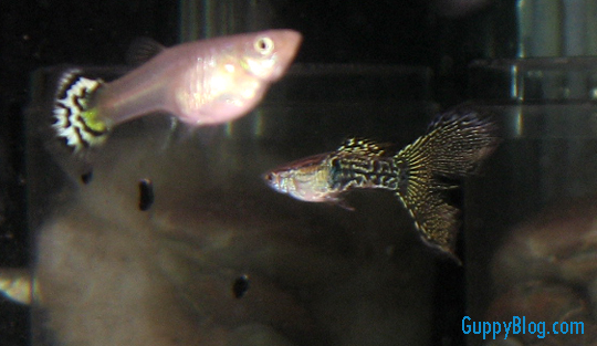 Black Lace Guppies – Firing up the Imagination