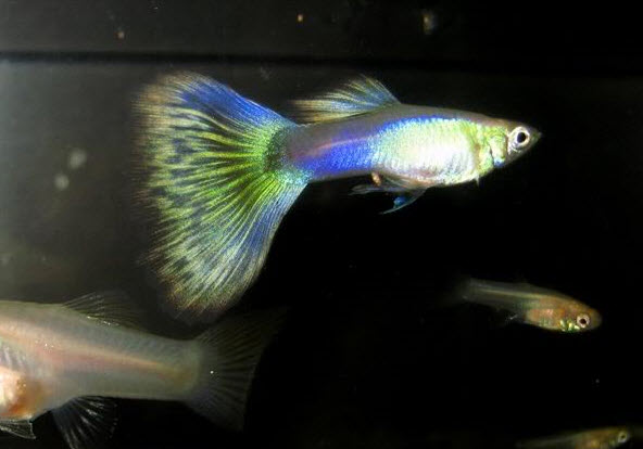 3 Ways to Search for New Strains of Guppies