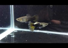 3 Months Old Half Black Yellow Variegated Guppy