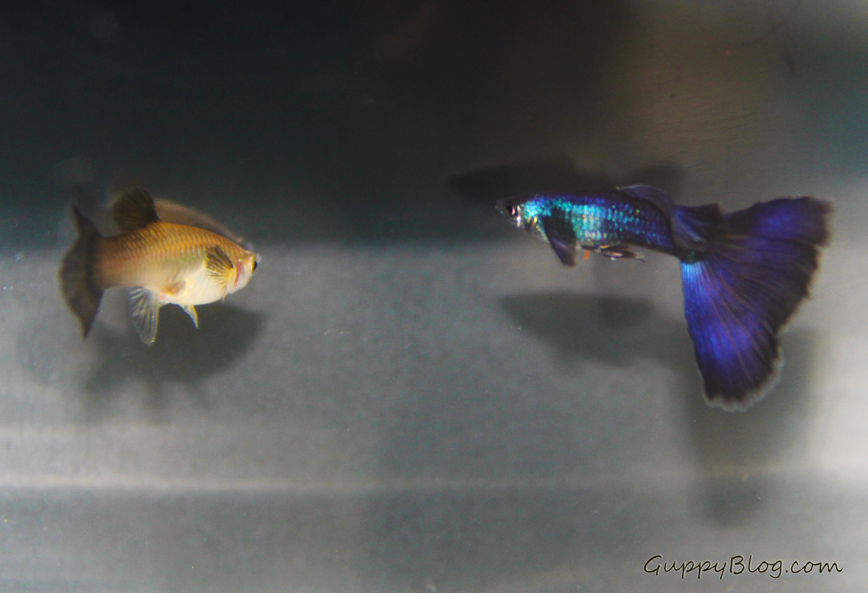Moscow Purple Guppies