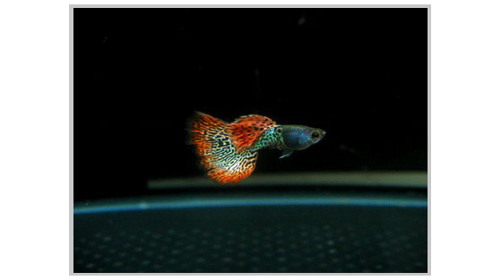 Red Metal Lace Guppies Make My Day