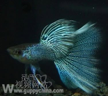 Blue Lace Guppy