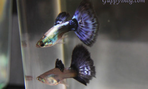 Purple Platinum Guppies for Sale