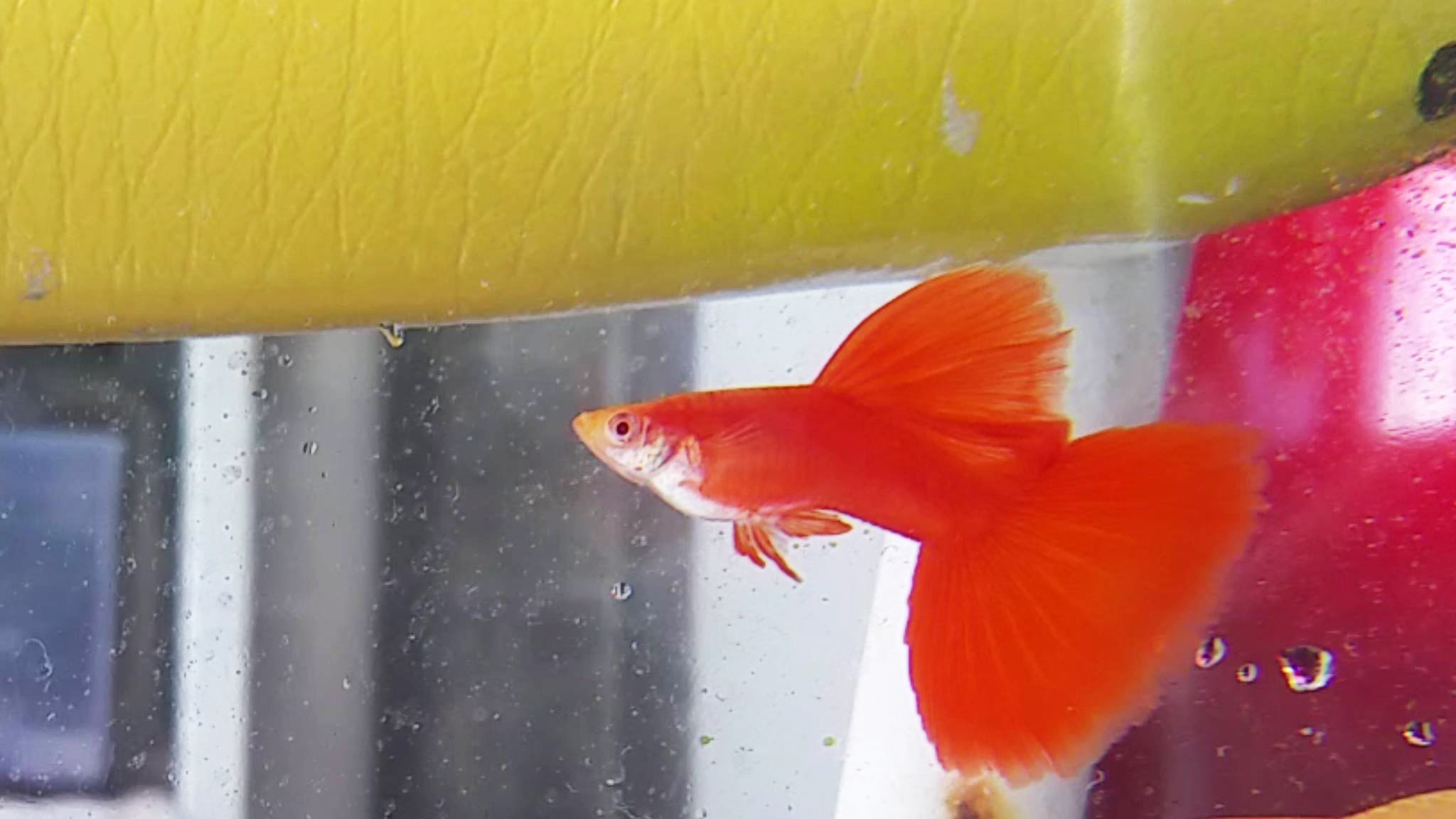 Interview with Alvin Ho, a Singaporean Guppy Breeder Specialising in Albino Full Red Guppies